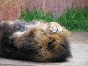 big_cats_hairballs