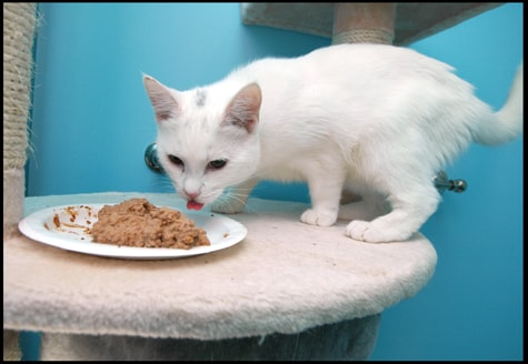 white_cat_eating_canned_food
