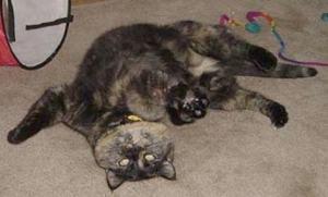 tortoiseshell_cat_playing_belly_rub