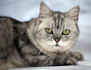 Smokey_the_purring_cat