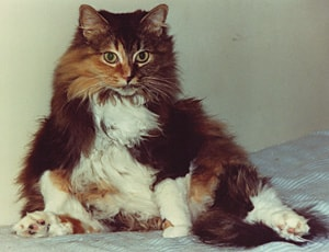 long_haired_calico_cat