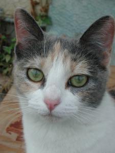 calico_cat