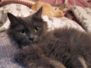 grey_longhaired_cat