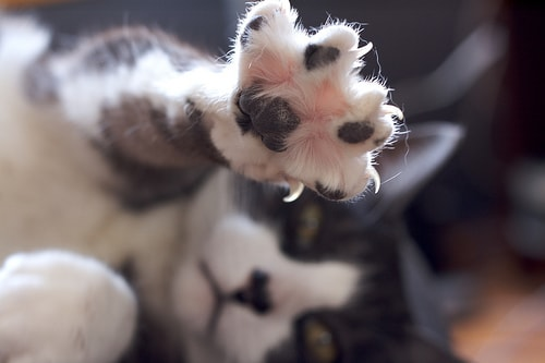 declawing_cats
