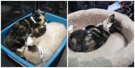 tortoiseshell_kittens