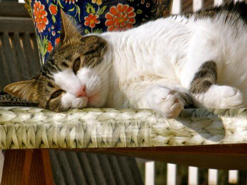 IMHA-cat