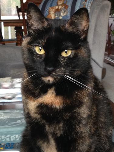 tortoiseshell-cat-tortitude
