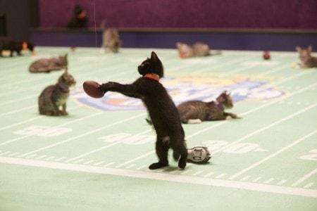 bengal kitten breeders