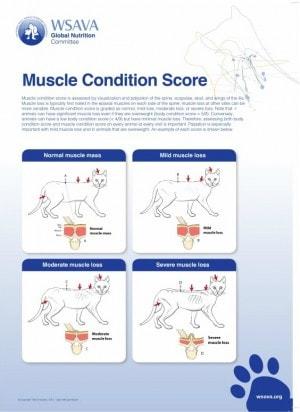 feline-muscle-condition-score