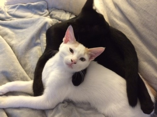black-cat-and-white-cat