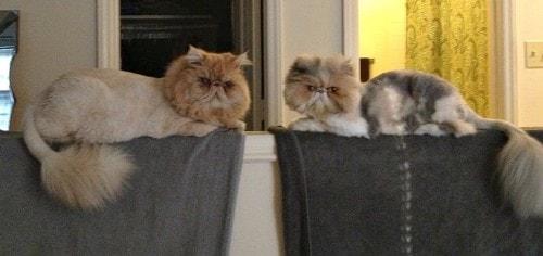 lion-cut-Persian-cats