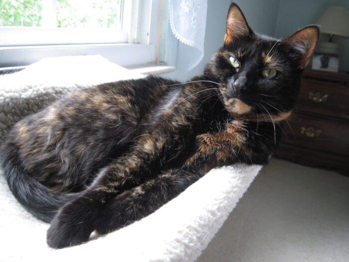 tortoiseshell-cat-window-seat