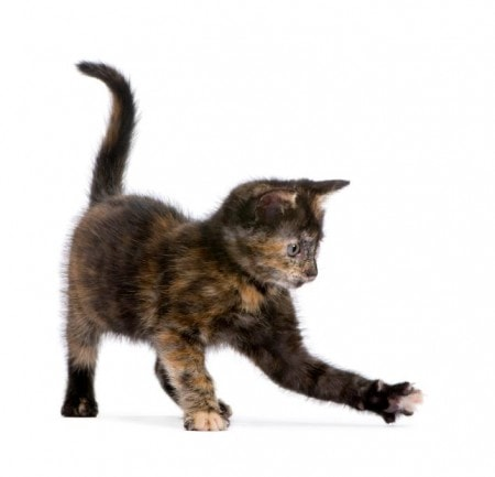 tortoiseshell-cat