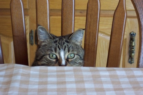 cat-at-table