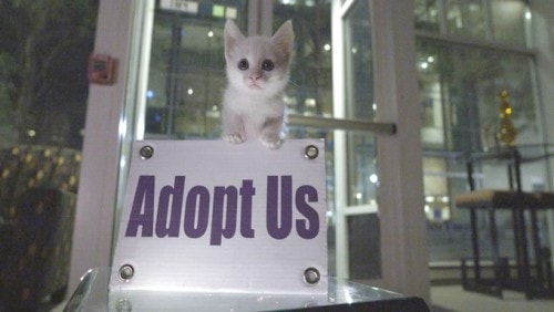 kitten-adoption