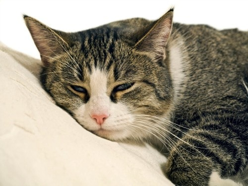 L-Lysine-supplementation-cats