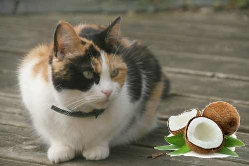 coconut-oil-and-cats