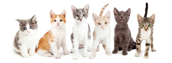 Is There A Connection Between Cat Breed Coat Color And Behavior The Conscious Cat