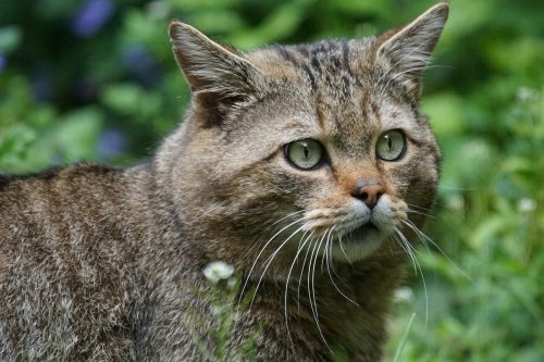 european-wildcat