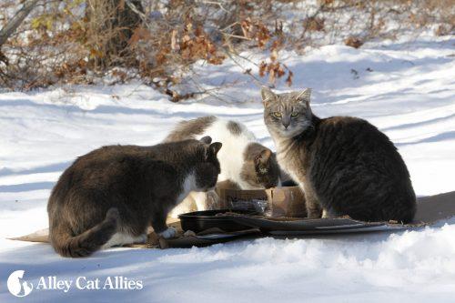 outdoor-cats-winter