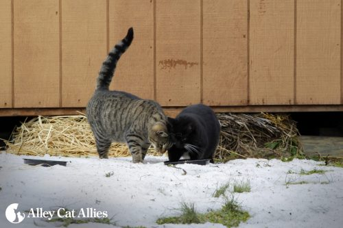 outdoor-cats-snow