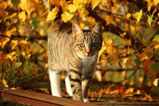 thanksgiving-cat-autum-fall