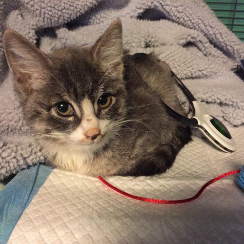 Assisi-loop-injured-cat