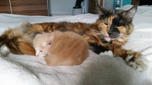 tortoiseshell-cat-with-kitten