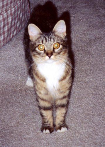 Maine_Coon-kitten