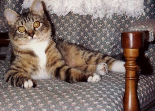 Maine-Coon-kitten