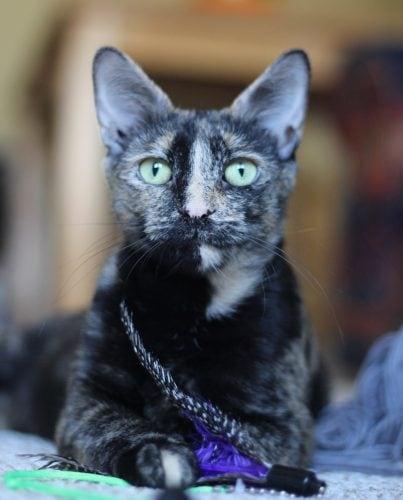 tortoiseshell-cat-feather-toy