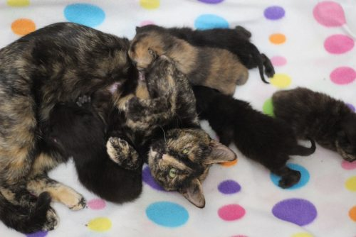 tortoiseshell-cat-with-kittens