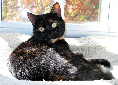 tortoiseshell-cat-autumn