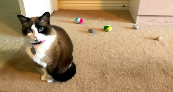 cat-with-toys