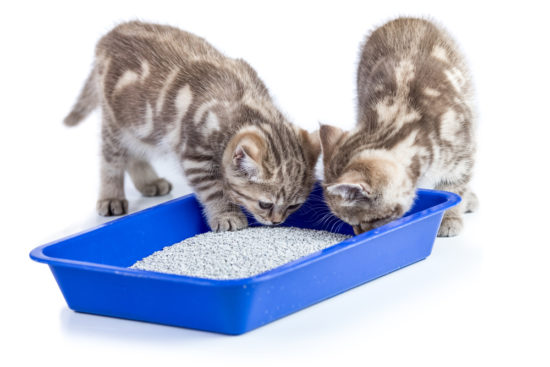 kittens-litter-box