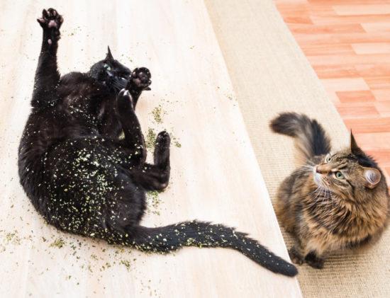 cats-on-catnip