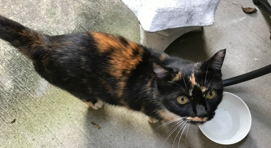 tortoiseshell-cat-eating