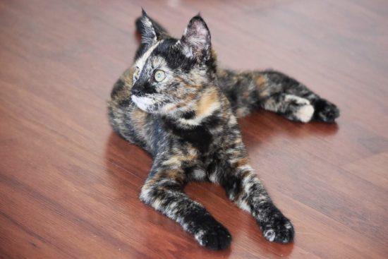 tortoiseshell-kitten