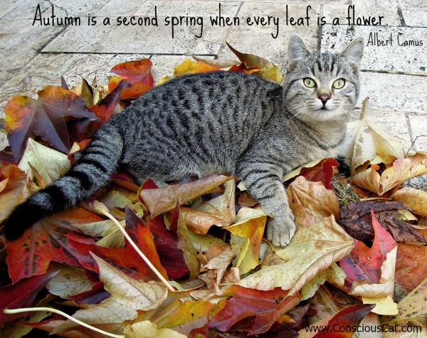 autumn-leaves-cat
