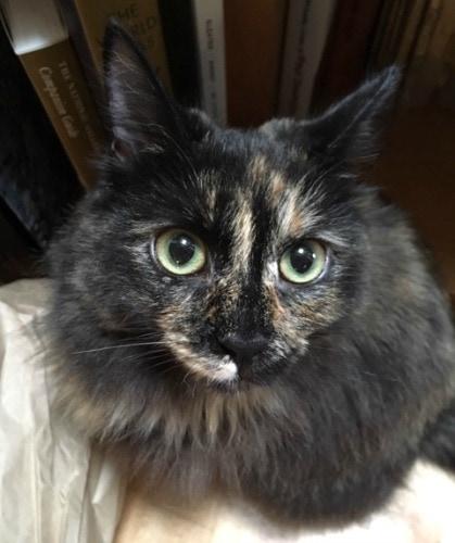 longhair-tortoiseshell-cat-tortitude
