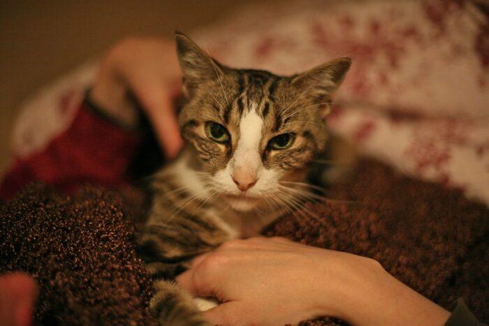 cat-blanket-lap