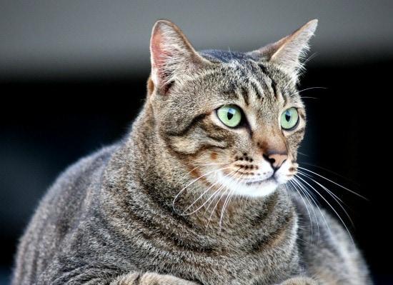 feline-obesity-fat-cat