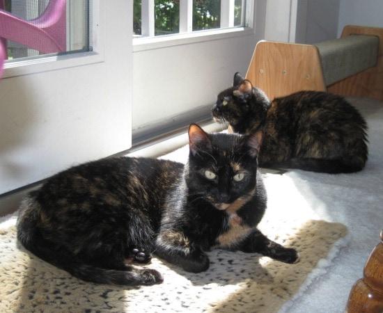 tortoiseshell-cats-sun