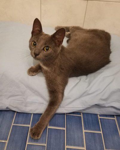 grey-rescue-kitten