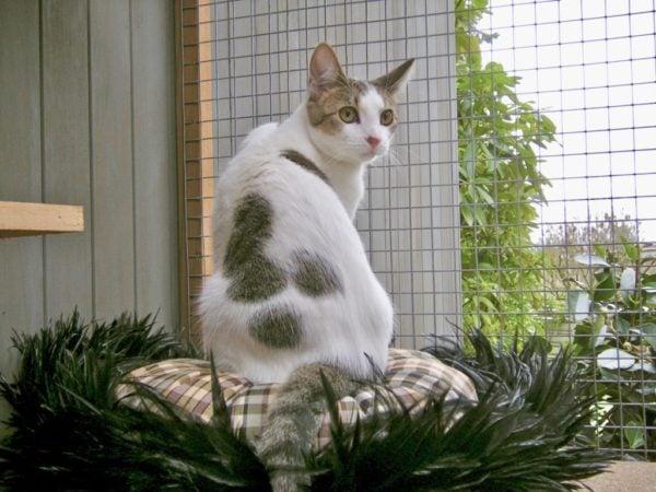 catio-cat-enclosure-tripawd-mini-sitting-catiospaces