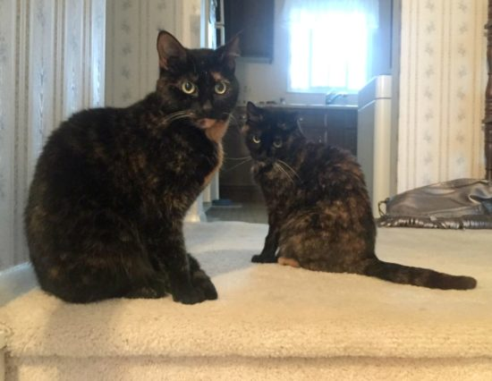 tortoiseshell-cats-stairs