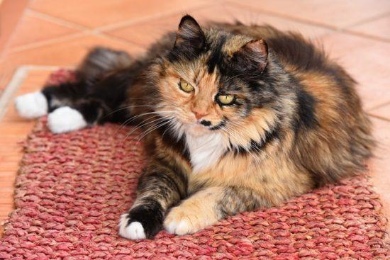 cat-white-socks