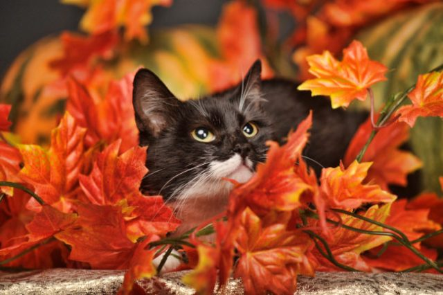 cat-fall-atumn-leaves