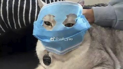 coronavirus-mask-cat