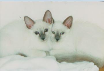 balinese-kittens
